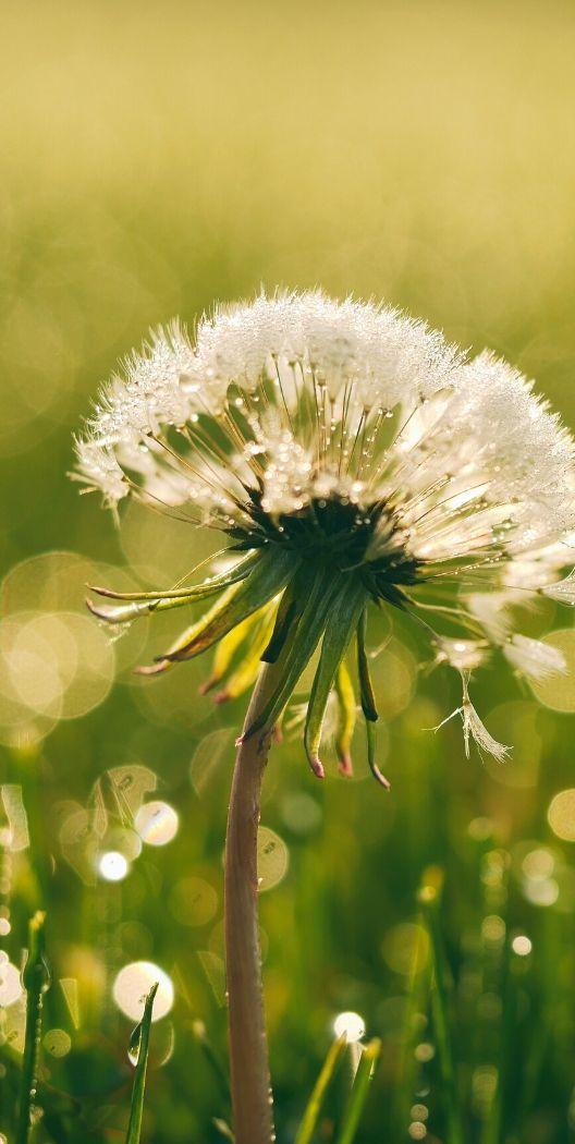 Dandelion - Rick Smith Axon